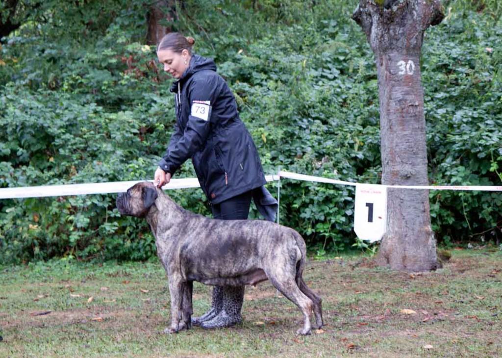 Club für Molosser Bullmastiff Veteran-3189